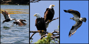 Quahog Bay Inn - Osprey - Bald Eagle